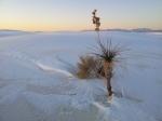 White Sands botanics