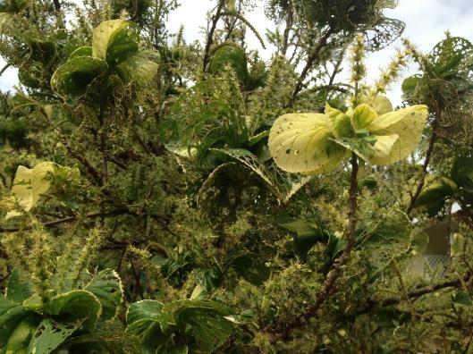 Thick green vegetation at the Pu'u Huluhulu
