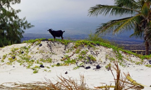 Makalawena goat