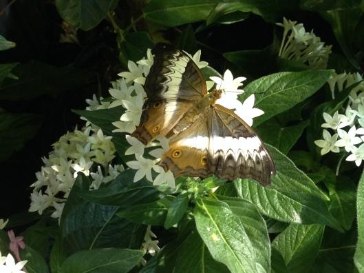 Orchard Swallowtail, Citrus Swallowtail (Papilio demodocus)