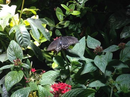Spicebush Swallowtail (Papilio troilus)