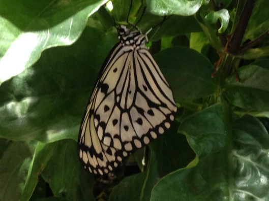 Paper Kite (Idea leuconoe).